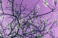 Branches ensoleillées de saule en fleur sur le fond lilas photographie stock libre de droits