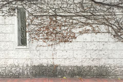 Branches envahies par brickwall blanc d'arbre sec le long de rue Photographie stock