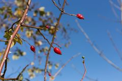 branches et baies d'arbres sur eux à l'automne novembre Photo stock