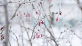 Branches et baies de berbéris dans le gel Images libres de droits