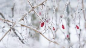 Branches et baies de berbéris dans le gel Photos libres de droits