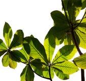 Branches et feuillage avec le tir d'angle de silhouette d'isolement sur les milieux blancs photos libres de droits