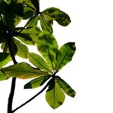 Branches et feuillage avec le tir d'angle de silhouette d'isolement sur les milieux blancs illustration de vecteur