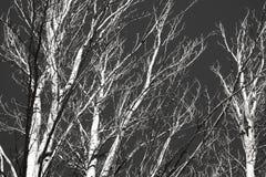 Branches et troncs d'arbre noirs et blancs Photo libre de droits