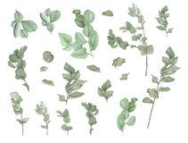 Branches of eucalyptus, watercolor painting. Tree branches and leaves of eucalyptus, watercolor painting. Botanical illustration. Isolated Royalty Free Stock Image