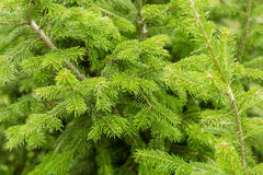 Branches of evergreen coniferous tree, fir tree texture, background Stock Photography