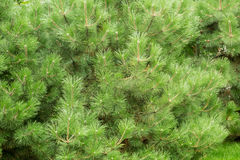 The branches of an evergreen coniferous tree of pine or cedar Stock Images