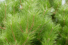 The branches of an evergreen coniferous tree of pine or cedar Royalty Free Stock Photos
