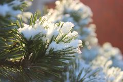 Branches of spruce or pine in the snow stock photo