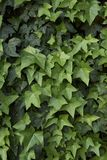 Hedera helix close up. Branches with evergreen leaves of Hedera helix Stock Images
