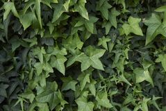Hedera helix close up. Branches with evergreen leaves of Hedera helix Royalty Free Stock Photos