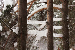 Branches evergreen pine covered with beautiful snow and hoarfrost. Royalty Free Stock Images