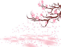 Branches of a fading pink cherry. Sakura. The petals fly in the wind and lie on the ground.  on white background Royalty Free Stock Photo