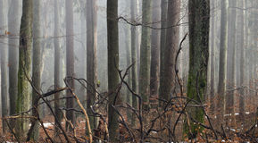 Branches of fallen tree in misty forest. Branches of fallen tree in fogy autumn forest Royalty Free Stock Photo