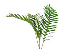 Branches of fernery. Branches of fernery on  white surface Royalty Free Stock Photos