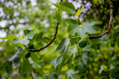 Branches of a fig tree after rain Stock Photo