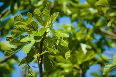 branches figtreen Fotografering för Bildbyråer