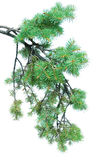Branches of fir-tree Stock Photos