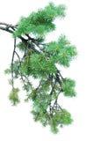 Branches of fir-tree Stock Photos