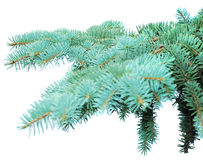 Branches of fir-tree Stock Photo