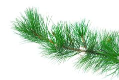 Branches of fir-tree Stock Image