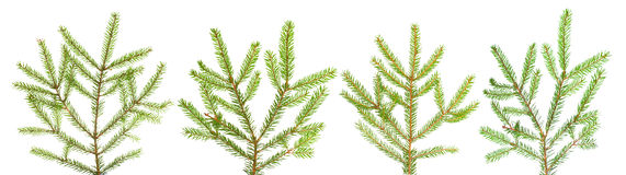 Branches of fir-tree Royalty Free Stock Photos