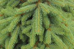 Branches of fir tree as background Royalty Free Stock Images