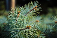 Branches fir tree Royalty Free Stock Photos