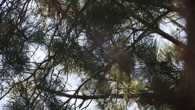 Branches of fir tree forest. On the sun stock video footage