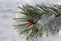 Branches of fir tree with snow Stock Images