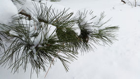 Branches of fir tree with snow - winter Royalty Free Stock Photos
