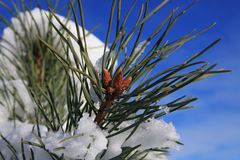 Branches of fir tree strewn lightly with snow Royalty Free Stock Image