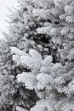 Hoarfrost covered fir tree. Branches of a fir trees completely covered in hoarfrost Stock Photography
