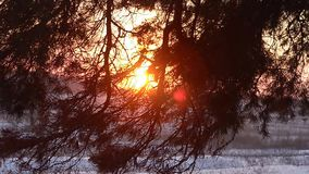 Branches of fir trees in the rays of winter sun, close-up, winter forest night, snowflakes sparkle in the sun. Branches of fir trees in the rays of winter sun stock footage