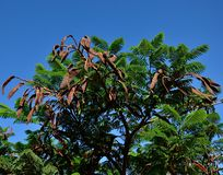 Flamboyan tree with ripe fruits. Branches of flamboyan tree with ripe fruits and intense blue sky background royalty free stock image