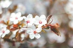 Branches fleurissantes d'arbre sur le fond brouillé par nature photo stock