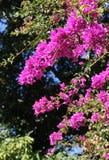 Branches fleurissantes de bouganvillée Images libres de droits