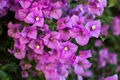 Branches fleurissantes de bouganvillée Image libre de droits