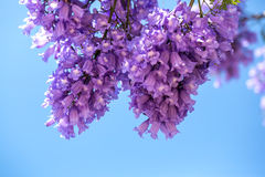 Branches fleurissantes de jakaranda contre le ciel Photographie stock libre de droits