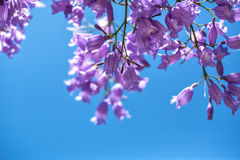 Branches fleurissantes de jakaranda contre le ciel Photos libres de droits