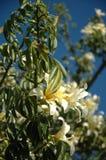 Branches fleurissantes de speciosa de Chorisia Image libre de droits