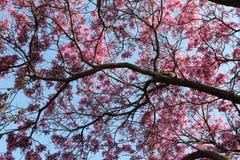 Branches fleurissantes roses atteignant vers le ciel Photographie stock