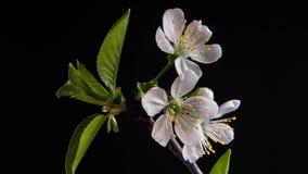 Branches fleurissantes sur un fond noir banque de vidéos