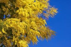Branches of flowering Acacia dealbata mimoza Royalty Free Stock Photos