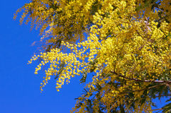 Branches of flowering Acacia dealbata mimoza against the sky Stock Photography