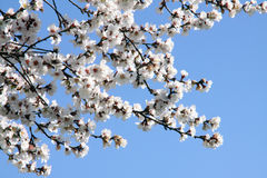 Branches of a flowering almond tree. Against the blue sky Stock Images