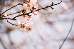 Branches of a flowering almond tree. In the gentle sunlight of a spring garden. Delicate flowers and bees collecting nectar Royalty Free Stock Images