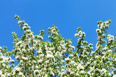 Branches of flowering apple tree with blue sky Royalty Free Stock Photos