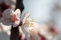 Branches of a flowering apricot Royalty Free Stock Photos