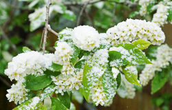 Branches of a flowering bird cherry covered with snow Royalty Free Stock Photos